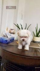 سگ پاپی بسیار زیبا از نژاد مالتیز